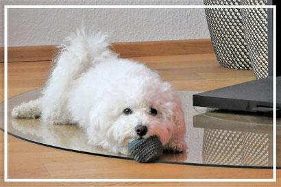 Bichon frisé Sophie, der kleine Hundeblog