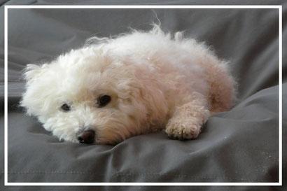 Bichon frisé Sophie, müder Hund, der kleine Hundeblog