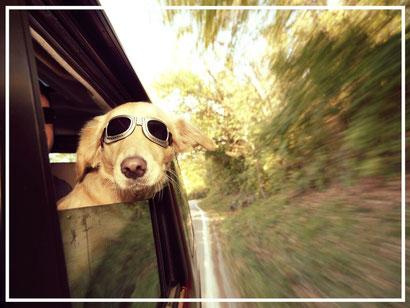Hund im Auto Autofahren mit Hund