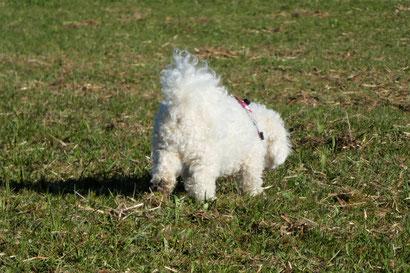 Bichon frisé Sophie, Hundefotografie