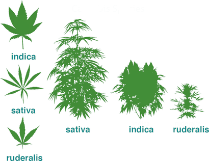 Cannabis Hauptgattungen