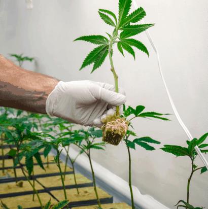 Klonen von Cannabis im Frühling