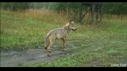 Wolf im Naturparadies Grünhaus