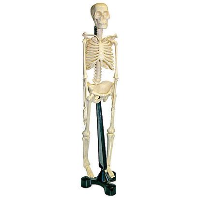 Squelette éducatif et maniable pour l'apprentissage du corps humain aux enfants.