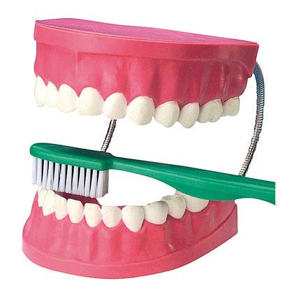 Dentier d'apprentissage pour éduquer les enfants dans les établissements scolaires ou jouer dans les centres de loisirs.