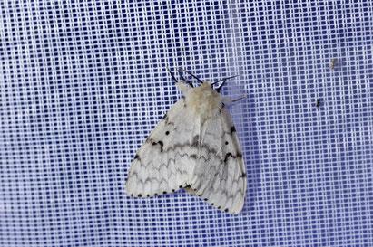 Schwammspinner, Lymantria dispar, Weibchen, Christian Söder, naturgeflatter