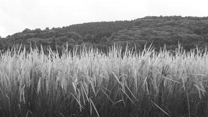 矢野酒造場の原料米は地元大分県産ひのひかりを使用