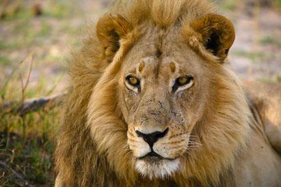 Löwe, Botswana-Reise