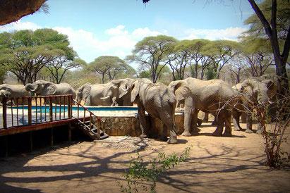 Ruaha Nationalpark, Tansania Safari