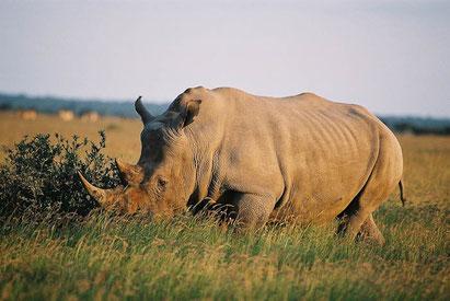 Nashorn auf einer Botswana-Reise