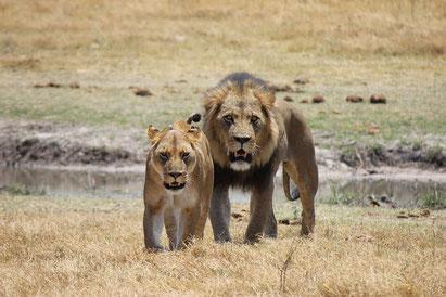 Löwen, Botswana-Reise
