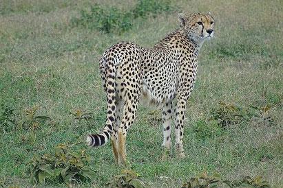 Zebra Tansania-Reise, Afrika-Reisen, Safaris