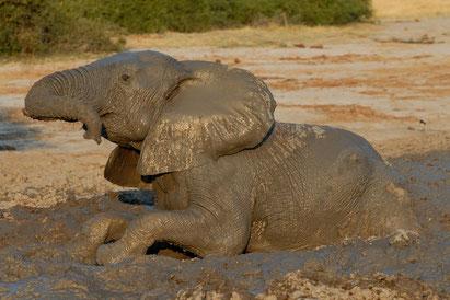 Elefant auf einer Botswana-Reise