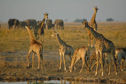 Giraffen auf einer Botswana-Reise