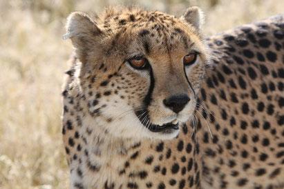 Namibia und Botswana Rundreise, Safari