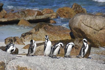Pinguine Boulders Beach, Südafrika-Reise