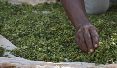 Moringa trocknen in Afrika
