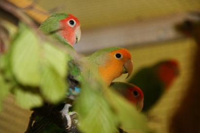 Rosenköpfchen in wildfarbe und orangemaske