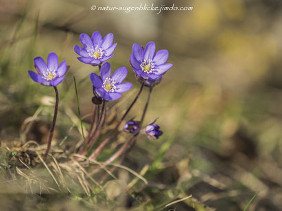 #olympus#300mmF4#omd em-1#wildlife#naturfotos#wildtiere#wildlife photography#             #www.natur-augenblicke.jimdo.com#naturfotografie#animal#bird#nature#Leberblümchen#
