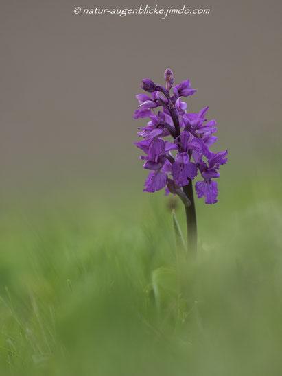 Knabenkraut (Dactylorhiza majalis), Orchideen