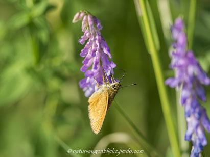 Brauner-Dickkopffalter,Schmetterling, Falter,Olympus