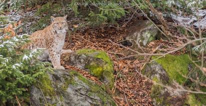 Luchs,Olympus,300mmF4.0, Katze, Bayrischer Wald,