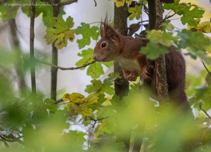 Eichhörnchen (Sciurus vulgaris) Eichkatzl,Eichkater, Katteker
