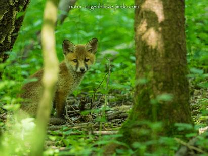 Fuch, Red Fox, Olympus, Pro 300mm F4.0