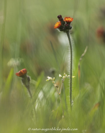 orangerotes Habichtskraut,Blume, Olympus , EM-1