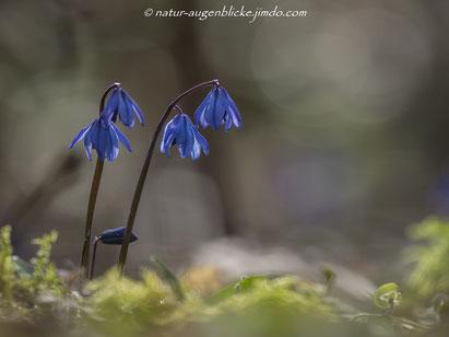 Blausternchen, blaue Blume, Frühblüher, Olympus, Pflanze