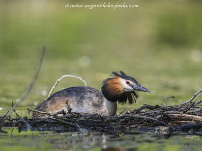 Haubentaucher, Wasservogel, Taucher, Olympus, Olympus 300 mm F4.0, Nymphenburg, Deutschland, Natur , Wildlife