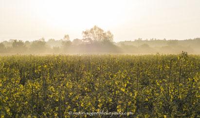 Rapsfeld, Planegg, Olympus, 40-150mm F2.8, Morgens, Stimmung am Feld,