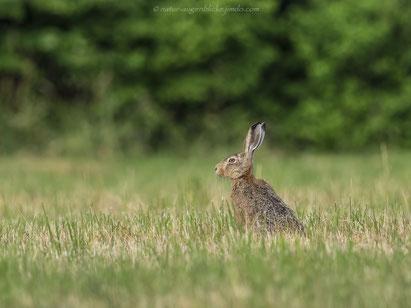 Feldhase, Hase , Kaninchen