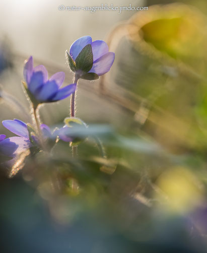#olympus#40-150mmF2.8#omd em-1#wildlife#naturfotos#wildtiere#wildlife photography#             #www.natur-augenblicke.jimdo.com#naturfotografie#animal#bird#nature#Leberblümchen#
