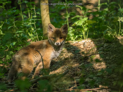 Fuchs, Red Fox, Olympus OMD EM-1, PRO 300mm F4.0