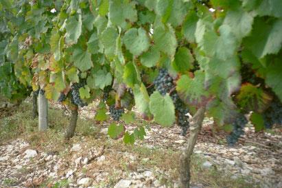 le vignoble mareuillais, vin, fief vendeen