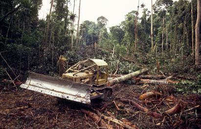 Abholzung von Nadelwälder