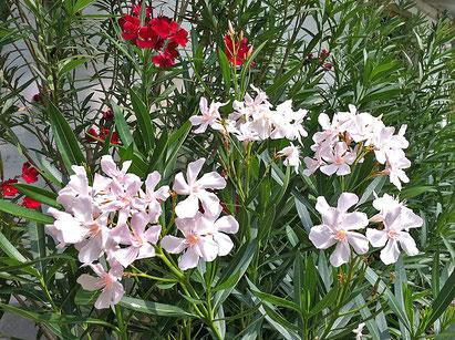 Oleander, OLEANDER HAUS, Oleander Garten, Alssace, Emile Sahut