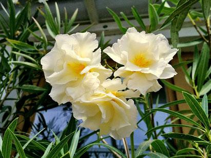 Oleander, OLEANDER HAUS, Oleander Garten, Luteum Plenum