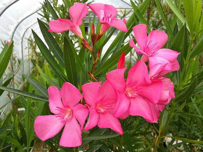 Oleander, OLEANDER HAUS, Oleander Garten, Hermione