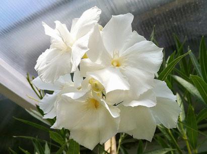 Oleander, OLEANDER HAUS, Oleander Garten, Mont Blanc