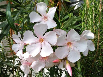 Oleander, OLEANDER HAUS, Oleander Garten, Alsace