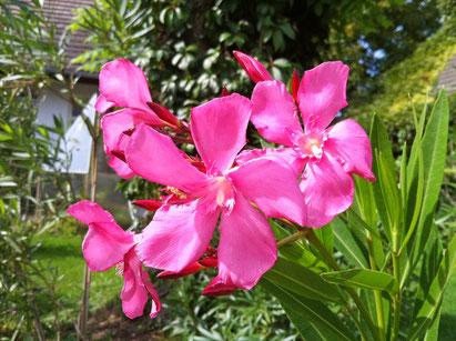 Oleander, OLEANDER HAUS, Oleander Garten, Grandiflorum