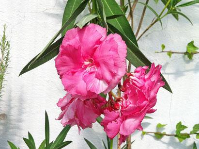Oleander, OLEANDER HAUS, Oleander Garten, Splendens Giganteum