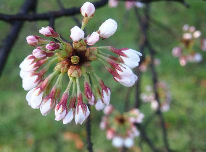 ●開花寸前の蕾です。3月25日に撮影。