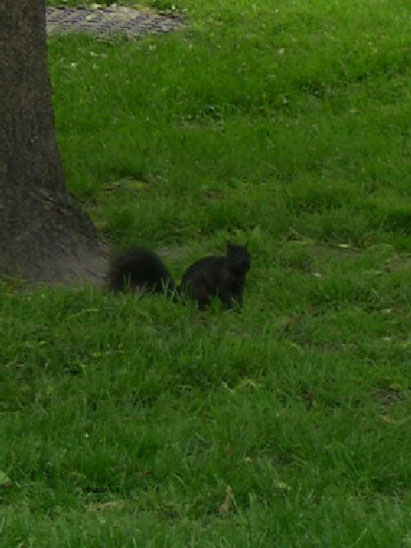 Canadian black squirrel