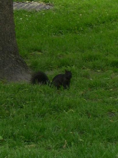 Canadian black squirrel