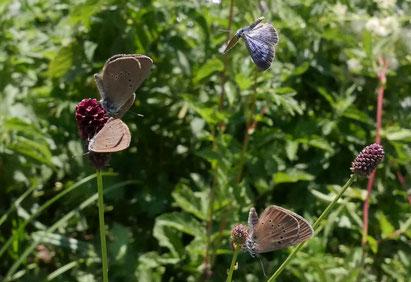 Der Dunkle Moorbläuling ist im Vergleich zum ähnlichen Violetten Waldbläuling auf der Flügelunterseite mokka- oder zimtfarben gefärbt, weist keinen reinweissen Flügelsaum auf und verfügt auf der Oberseite über grössere Punkte, ähnlich einer Katzenpfote.
