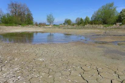 Da naturnahe Karpfenteiche wie der Äschweiher zeitweise abgelassen werden, bilden sich hier schlammige Ufer die der Uferläufer als Lebensraum nutzt.