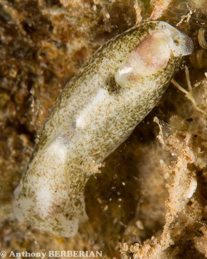 Phanerophthalmus cylindricus